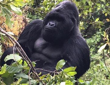 Encontro com Gorilas das Montanhas - Uganda