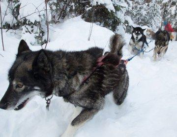Dog Sledding - Treinamento de Inverno Outward Bound Canada